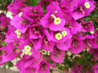 bouganville del nostro giardino - 4 maggio 2006  - Alcamo (1177 clic)