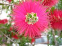 fiore del giardino accanto - 4 maggio 2006  - Alcamo (1173 clic)