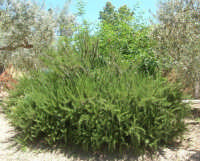 una magnifica pianta di rosmarino, circondata da ulivi e con alle spalle un amareno - 17 giugno 2007  - Chiusa sclafani (1441 clic)