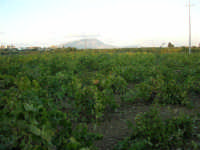 una vigna ed in fondo il monte Erice - 8 ottobre 2006  - Marausa (3232 clic)