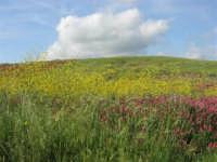 i colori della campagna siciliana a primavera - 25 aprile 2008   - Poggioreale (2395 clic)