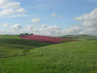 i colori della campagna siciliana a primavera - 25 aprile 2008   - Poggioreale (2441 clic)