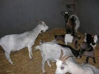 C.da Valle Nuccio - Visita al maneggio de Lo Sperone - Le capre - 19 febbraio 2006  - Alcamo (1240 clic)