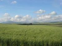 i colori della campagna siciliana a primavera: campo di grano - 25 aprile 2008   - Poggioreale (10921 clic)