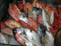 pranzo al Ristorante del Golfo (da Liborio - specialità pesce) - via Segesta, 153 -: pesci in esposizione - 7 maggio 2006  - Castellammare del golfo (2325 clic)