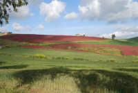 i colori della campagna siciliana a primavera - 25 aprile 2008   - Camporeale (2800 clic)