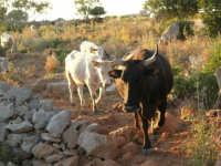 Mucche - 21 maggio 2005  - San vito lo capo (1997 clic)