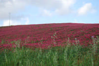 i colori della campagna siciliana a primavera - 25 aprile 2008   - Camporeale (3346 clic)