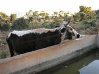 Mucca all'abbeveratoio - 21 maggio 2005  - San vito lo capo (2072 clic)