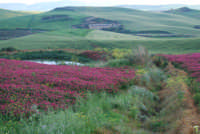i colori della campagna siciliana a primavera - 25 aprile 2008   - Camporeale (2703 clic)