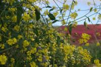 i colori della campagna siciliana a primavera - 25 aprile 2008   - Camporeale (2270 clic)