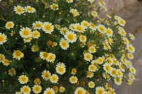 vegetazione spontanea: margherite - 25 aprile 2008   - Camporeale (2117 clic)