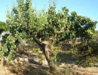 albero di pirazzola - 13 giugno 2008  - Alcamo (1835 clic)