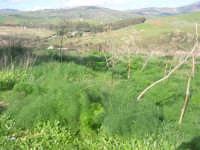 panorama - in primo piano piante di finocchio selvatico - 18 gennaio 2009  - Segesta (2589 clic)
