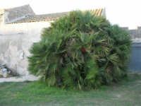 vecchia casa di campagna e giummara (palma nana) - 8 ottobre 2006    - Marausa (2496 clic)