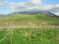 panorama - in primo piano piante di finocchio selvatico - 18 gennaio 2009  - Segesta (2167 clic)