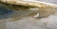 al porto: un gabbiano - 25 aprile 2007  - Isola delle femmine (1040 clic)