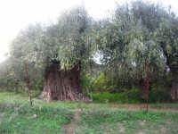 uliveto - albero secolare carico di olive - 9 novembre 2008  - Caltabellotta (6268 clic)
