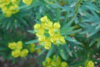 flora - 24 febbraio 2008  - Riserva dello zingaro (1132 clic)