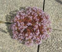 pianta spontanea: la vita a tutti i costi - 8 maggio 2009  - Castellammare del golfo (2186 clic)