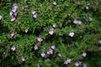 flora - 24 febbraio 2008  - Riserva dello zingaro (1058 clic)