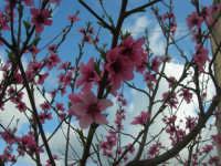 fiori di pesco - 5 aprile 2009   - Buseto palizzolo (3274 clic)
