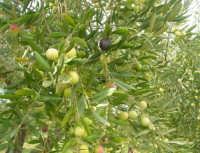 olive - 9 novembre 2008  - Ribera (2899 clic)