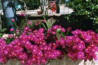 aiuola fiorita - maggio 2006  - Alcamo (1572 clic)