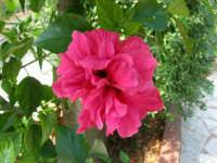 fiore di ibisco nel nostro giardino - 24 settembre 2006  - Alcamo (1084 clic)