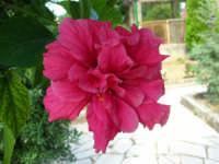fiore di ibisco nel nostro giardino - 24 settembre 2006  - Alcamo (1030 clic)