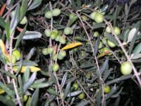 olive - 9 novembre 2008  - Chiusa sclafani (2616 clic)