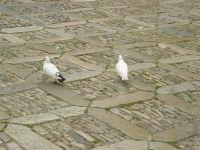 Piazza Umberto I: colombi sull'acciottolato - 25 aprile 2006  - Erice (1165 clic)