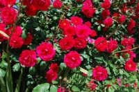 roseto - 9 maggio 2009  - Alcamo (2076 clic)