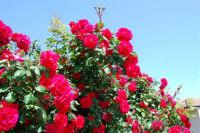roseto - 9 maggio 2009  - Alcamo (2109 clic)