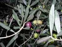 olive - 9 novembre 2008  - Chiusa sclafani (2821 clic)