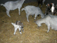 C.da Valle Nuccio - Visita al maneggio de Lo Sperone - Le capre - 19 febbraio 2006  - Alcamo (1219 clic)
