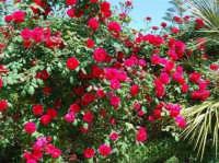 roseto - 9 maggio 2009  - Alcamo (2444 clic)