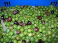 olive appena raccolte - 9 novembre 2008  - Chiusa sclafani (2307 clic)