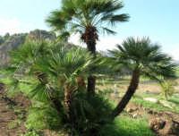 palma nana - 29 ottobre 2006  - Scopello (1799 clic)