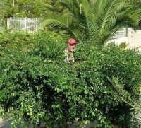 potando un albero del nostro giardino - 6 settembre 2006  - Alcamo (1104 clic)