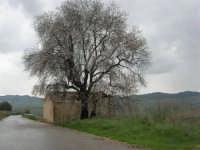 uno splendido mandorlo in fiore - 15 febbraio 2009   - Alcamo (1780 clic)