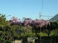 una splendida pergola di glicine - 4 aprile 2006  - Alcamo (1435 clic)