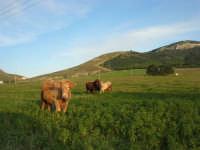 mucche al pascolo alle pendici della Montagna Grande - 21 febbraio 2009   - Fulgatore (2927 clic)
