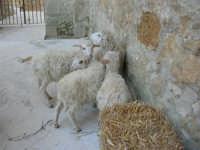 Epifania drammatizzata con quadri viventi a Salemi - durante le prove - 6 gennaio 2009   - Salemi (2340 clic)