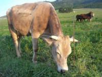 mucche al pascolo alle pendici della Montagna Grande - 21 febbraio 2009   - Fulgatore (3154 clic)