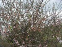 mandorlo in fiore - 15 febbraio 2009   - Alcamo (2491 clic)