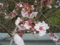 mandorlo in fiore - 15 febbraio 2009   - Alcamo (3098 clic)