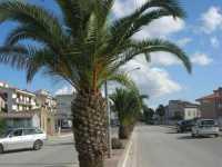 viale con palme - 4 ottobre 2009   - Santa ninfa (3381 clic)