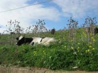 frazione di Buseto Palizzolo - mucche al pascolo - 18 gennaio 2009   - Bruca (5172 clic)