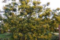 mimosa - 13 febbraio 2009   - Castellammare del golfo (2271 clic)